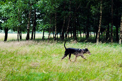 Torup - Akira WEB (manuel ek) Tags: dog nature forest skne perro hund fujifilm pinscher torup bokskog