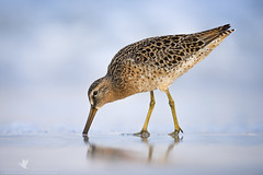 Short-Billed Dowitcher (santosh_shanmuga) Tags: park wild bird nature animal outdoors bill nikon state florida fort outdoor wildlife birding aves short ft fl 500mm desoto fortdesoto pinellas shorebird ftdesoto dowitcher billed shortbilled d810