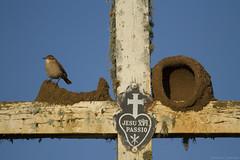 João-de-barro (Furnarius rufus) (fabsciack) Tags: blue sky church azul ninho céu cruz casinha furnariusrufus joãodebarro jesuxpipassio