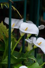 Arum lily (Jocey K) Tags: newzealand christchurch flower lily callalily