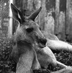 Kangaroo at Kentucky Down Under (matthew.vortex) Tags: monochrome blackandwhite ilfosol3 delta100 ilford mamiyac3 kentucky cavecity zoo kentuckydownunder kangaroo