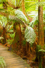 Boardwalk through the rainforest. (mathematikaren) Tags: great ocean roadaustralia greatoceanroad australia ferns rainforest boardwalk