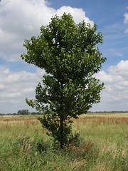 Boompje in zomerdracht (Jeroen Hillenga) Tags: tree netherlands groningen boompje oudeadorperweg