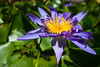 Water lily (OpersembeArt) Tags: trip blue trees tree green water yellow contrast canon garden eos pagoda moss sticks vietnamese village waterlily lily purple outdoor vietnam monks lilypad hue bacpacking insense 700d canon700d canoneos700d eos700