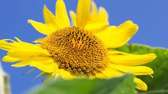 201608_21_2560 (noriko_v) Tags: sunflower flower summer nature