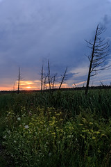 Life and Death (Anvilcloud) Tags: carletonplace mcartonroad sunsrise wideangle ottawa ontario canada ca lanarkcounty easternontario deadtrees yellowparsnip