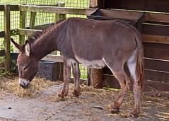 donkey (JOHN BRACE) Tags: park animal centre donkey seen tilgate equus crawley asinus africanus