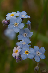 Forget-Me-Not (PNG441) Tags: outdoors canada forgetmenot temiskamingshores temiskaming spring