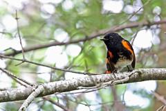 Curious Redstart (Jan Nagalski) Tags: bird songbird warbler americanredstart colorful orange black picturedrocksnationallakeshore uppermichigan upperpeninsula upnorth michigan summer jannagalski jannagal