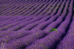 Missing Provence - 19 (BeNowMeHere) Tags: ifttt 500px trip benowmehere colour flowers france landscape lavender missingprovence nature provence summer village color colorful colourful travel