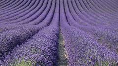 Souvenir d'un parfum (Titole) Tags: lavender lavandes field plateaudevalensole france titole nicolefaton purple vanishingpoint provence agriculture rows lines monochrome alpesdehauteprovence paca