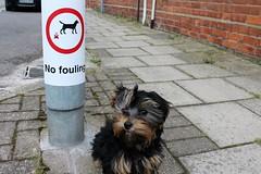 Flo The Yorkie Poo Puppy No Fouling Sign (@oakhamuk) Tags: puppy rutland oakham flo yorkiepoo martinbrookes