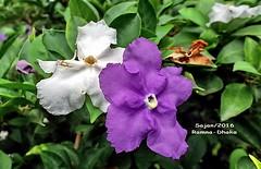 ~Brunfelsia~ (sajan-164) Tags: brunfelsia yesterday today tomorrow color variation ramna park dhaka bangladesh sajan164