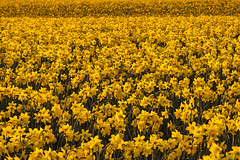 Farm Land field of daffodills (Jim Corwin's PhotoStream) Tags: agriculture floral nw pacificnorthwest skagitvalley washingtonstate barn beautiful beauty beautyinnature bloom blooming closeup closeups countryside cultivation daffodils decorative farm farming farmland field flora flower fora home horizontal icon iconic idyllic inspire inspiring landscape nature northwest outdoors pattern patterns photography plant plants row rows rural scenic spring sunrise symmetry texture tranquil tranquilscene uplifting warmcolors