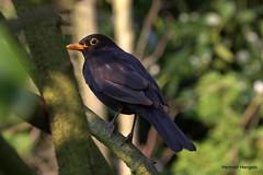 just a moment (herman hengelo) Tags: blackbird merel garden hengelo twente nederland