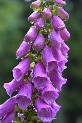 Foxgloves (GDDigitalArt) Tags: kirkhill scotland forest macro tree woodland
