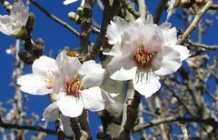 Primavera en flor (mariarl_art) Tags: primavera flores abejas floracin trabajo rbol frutal cielo almendras
