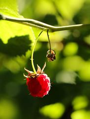 Raspberry (Diane Higdem Photography) Tags: red green berry raspberry summer fruit garden