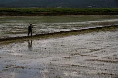 paddy field (MrtBzts) Tags: field farmer outdoor nikon d7200 green water pool sigma edirne turkiye paddy