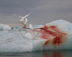 Arctic Gulls (Coopers Ale) Tags: arctic gulls ice blood svalbard