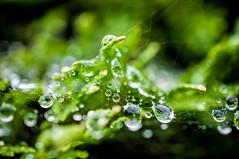 Quelques gouttes et un canard (Joanne Levesque) Tags: pluie rain gouttes droplets raindrops eau feuillage vert green toiledaraigne spiderweb nature macro nikond90 micronikkor40mmf28