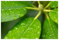 Morning shot (hervemarcilloux) Tags: rhododendron flower plant leaves leaf green macro nature bokeh drops waterdrops dewdrops dew sony a77