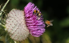 Woolly Thistle (With Bees) 160816 (4) (Richard Collier - Wildlife and Travel Photography) Tags: macro naturalhistory woolythistle flowersenglishflowers flowers wildflowers honeybeeapismellifera insects british ngc npc