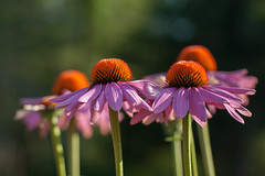 160810_136 Standing Proud (MiFleur...Thanks for visiting!) Tags: fleur echinacea