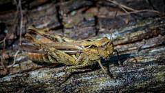 sprinkhaan (hansde) Tags: grashopper sprinkhaan veluwe fauna nature insect animal