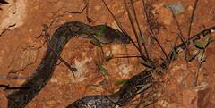 Reticulated python, night safari, Taman Negara, Malaysia (iparky) Tags: malaysia tamannegara nightsafari reticulatedpython