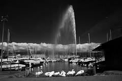 Tamed white (VirgiSupertramp) Tags: water eau jet cygnes bw black white love travelling genf suisse genve