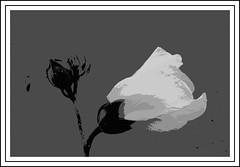 White Hibiscus (Virginia Rivers) Tags: macromondayflowersblackandwhite blackandwhite flowers floweringplant hibiscus garden gardening homegarden monochrome photoborder flowerbud idaho macro canon canoneos canon180mmmacrolens canoneos60d