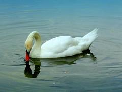 New York City Birds: Mute Swan (dimaruss34) Tags: newyork brooklyn dmitriyfomenko image summer prospectpark reflection lake bird swan