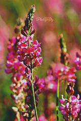 Castelluccio di Norcia. (Sara Orsini Photography) Tags: flowers pink colourful nature macro details castellucciodinorcia happiness