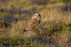 Brandugla / Short-eared owl (Benedikt Halfdanarson) Tags: brandugla shortearedowl ugla fuglar ránfugl owl icelandicbirds íslenskirfuglar asioflammeus