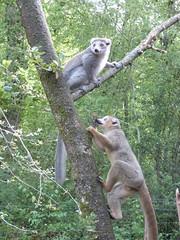 Réserve zoologique de Calviac, 11 août 2016. (Guillaume Cingal) Tags: calviac dordogne zoo calviac11082016 1011août2016