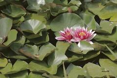 imgd5372-firma (andrea.maspero) Tags: ninfee sondrio laghetto parco lombardia italia europa andream fiori foglie waterlily