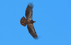 Juvenile bald eagle - Staten Island, New York (superpugger) Tags: statenislandbaldeagles bald eagles baldeagles newyorkcitywildlife lawrencepugliares lpugliares