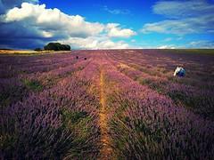 Lavender Fields (carolinegiles1) Tags: greatoutdoors lavenderfarm hitchin blue clearsky sky cloud summer nature field lavender
