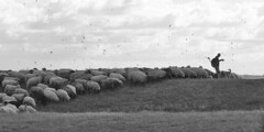 Schfer (bernstrid) Tags: insel hiddensee neuendorf mv sw bw schfer schafe herde