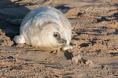 Seal (Glen Crowe) Tags: wild nature animal animals wildlife norfolk seal horsey
