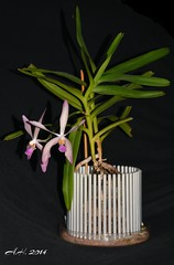 Esmeralda clarkei x Vanda coerulea (Andi_1986) Tags: orchid vanda esmeralda coerulea clarkei arachnanthe