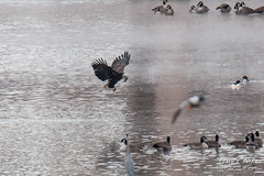 11 of 14 - Bald Eagle Fishing Sequence