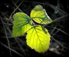 Spring colours in December (Jaedde & Sis) Tags: leaves leaf backlit flickrchallengegroup flickrchallengewinner challengegamewinner herowinner storybookwinner