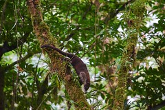 Coati - Monteverde (Captures.ch) Tags: park travel november blue trees winter red orange cloud costa brown white black green nature animal forest costarica gray rica santaelena monteverde canopy bushes centralamerica coati 2014 hangingbridges