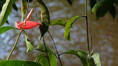 DSC02029 (nandosn21) Tags: verde rio flor vermelha riacho florvermelha