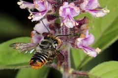 Australian native bee - Megachile (Eutricharaea) ignescens (Jenny Thynne) Tags: insect australia brisbane bee queensland hymenoptera megachilidae megachile pollinator australiannativebee ignescens eutricharaea