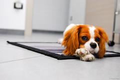 DSC_6304 (Corrado Photo) Tags: cane animale pelo cucciolo fido amico quadrupede femmina mammifero cavalierking esemplare charlsspaniel