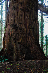 Ed Plaitted bark (Ciara Kyne) Tags: tree galway woodlands bark plait coole