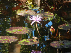 Beauty in Chaos (Pandora-no-hako) Tags: reflection water waterlily lily florida naples lilypad botanicalgarden 2014